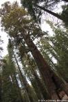 Mariposa Grove, Yosemite National Park, 10/31/2014